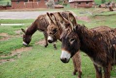 Trois ânes se tenant dans un domaine Image libre de droits