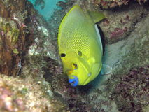Trois à Poissonange taches - Threespot angelfish Στοκ Εικόνες