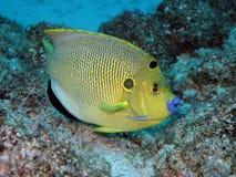 Trois à Poissonange taches - Threespot angelfish Στοκ εικόνα με δικαίωμα ελεύθερης χρήσης