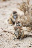 Trois écureuils d'au sol de cap de Watchfull, inauris de Xerus image stock