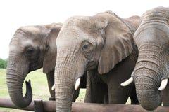 Trois éléphants Photographie stock