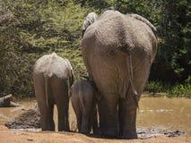 Trois éléphants de différents âges buvant à un trou d'eau, vue par derrière photo stock