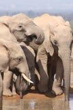 Trois éléphants se ferment vers le haut du boire Image stock