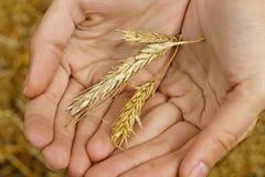 Trois épillets de blé dans des mains Photographie stock