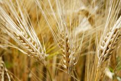 Trois épis de blé Images libres de droits