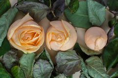 Trois étapes du flover rose fleurissant Concept de la vie, relations amour, santé, amitié Photos stock