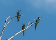 Trois abeille-mangeurs s'asseyant sur des branches Image libre de droits