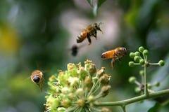 Trois abeilles Photographie stock