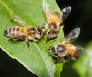 Trois abeilles alimentant et fonctionnant ensemble Image libre de droits