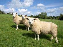 Trois agneaux Photo libre de droits