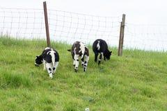 Trois agneaux sur la digue mangeant l'herbe Image stock