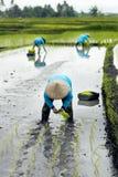Trois agriculteurs de terrasse de riz de femmes travaillant dans la terrasse de riz Images libres de droits