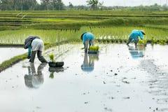 Trois agriculteurs de terrasse de riz de femmes travaillant dans la terrasse de riz Image stock