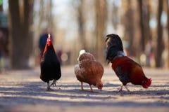 Trois amis marchant en parc Poules fermières, volaille org Photo libre de droits