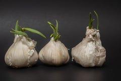 Trois ampoules d'ail de germination dans une rangée photographie stock libre de droits