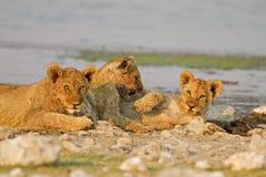 Trois animaux de lion se trouvant entre les roches au waterhole Photographie stock