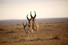 Trois antilopes de Pronghorn mâles photographie stock