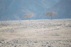 Trois arbres dans le désert Photographie stock libre de droits