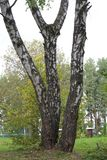 Trois arbres de bouleau avec les troncs blancs dans Forest Park pittoresque Photos libres de droits