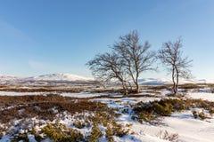 Trois arbres de bouleau de montagne avec des montagnes d'hiver à l'arrière-plan dans Dovre, Norvège Photos stock
