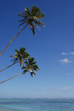 Trois arbres de noix de coco Photo libre de droits