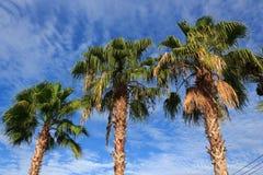 Trois arbres de plam Photos stock