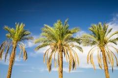 Trois arbres de plam Photographie stock
