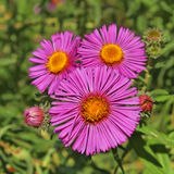 Trois asters Photos libres de droits