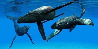 Trois baleines de bosse Photos libres de droits
