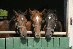 Trois beaux chevaux de pur sang regardant au-dessus de la porte de grange Images libres de droits