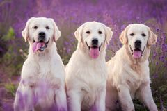 Trois beaux chiens de golden retriever dans le domaine de lavande images stock