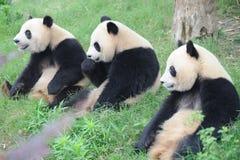 Trois beaux pandas se reposant sur la prairie Photos libres de droits