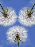 Trois beaux pissenlits sur le ciel bleu Images stock