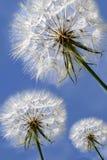 Trois beaux pissenlits sur le ciel bleu Photos stock