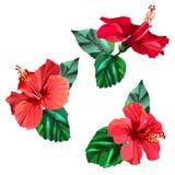 Trois belles fleurs rouges de ketmie avec des feuilles Images stock