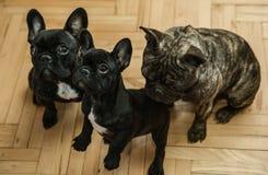 Trois bouledogues français attendant des festins Photographie stock libre de droits