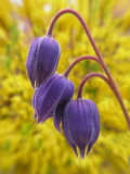Trois bourgeons de clematis photo stock