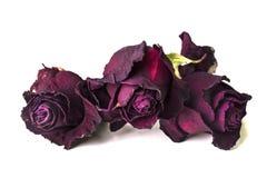 Trois boutons de rose secs rouge foncé Photo stock