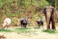 Trois Buffalo et éléphant Images stock