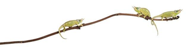 Trois caméléons de Mt. Meru Jackson Photos stock