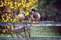 Trois canards Image stock