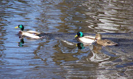 Trois canards Images stock