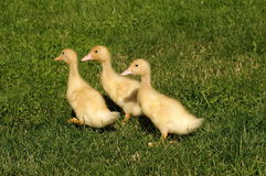 Trois canards Image libre de droits