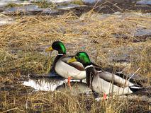 Trois canards Photographie stock