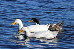 Trois canards Images libres de droits
