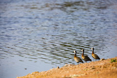 Trois canards dans une ligne Images stock