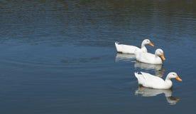Trois canards dans une rangée Image stock