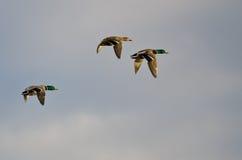 Trois canards de Mallard volant dans un ciel bleu Photographie stock libre de droits