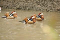 Trois canards de mandarine, mâles nagent dans l'eau photo libre de droits