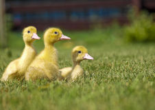 Trois canards jaunes Photos stock